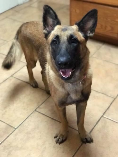 Adopt Zelda 1093 On In 2020 Malinois Dog Belgian Shepherd Dog Adoption