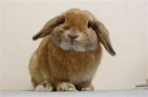 holland lop rabbit... I've always wanted a lopped ear rabbit