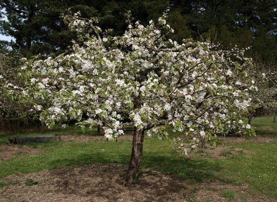pruning fruit trees healthy fruit tart recipes