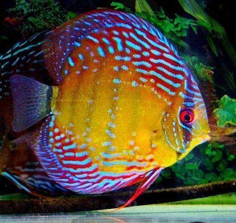 Thailand Assorted Mixed Fancy Colors Discus Arizona Aquatic Gardens Discus Fish Freshwater Aquarium Fish Tropical Fish