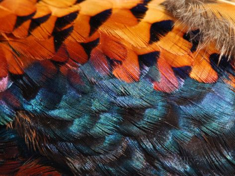 Close-Up of Pheasant Feathers Showing Iridescence and Pattern, Medicine Rocks, Montana, USA Impressão fotográfica