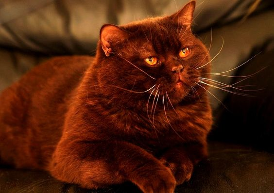 cinnamon british shorthair cat