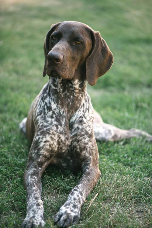 German Shorthaired Pointer Dog Breed Information German Shorthaired Pointer Dog Gsp Dogs Dog Breeds