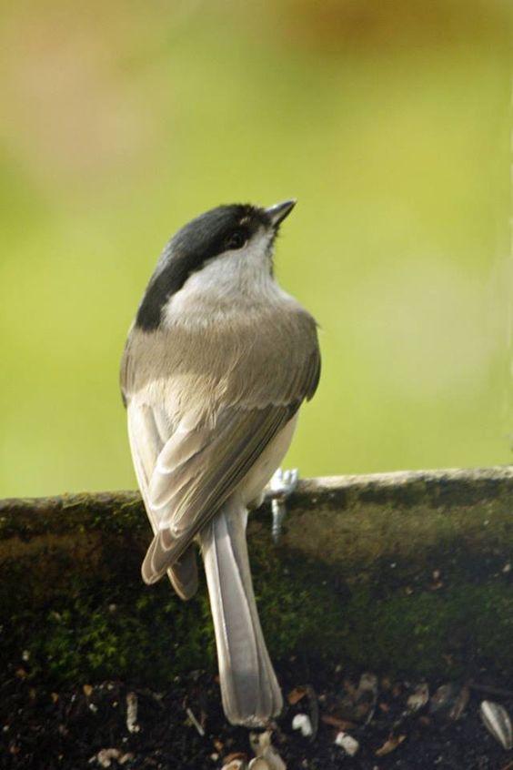 M sange nonnette oiseaux de nos jardins champs tangs for Oiseaux de nos jardins belgique