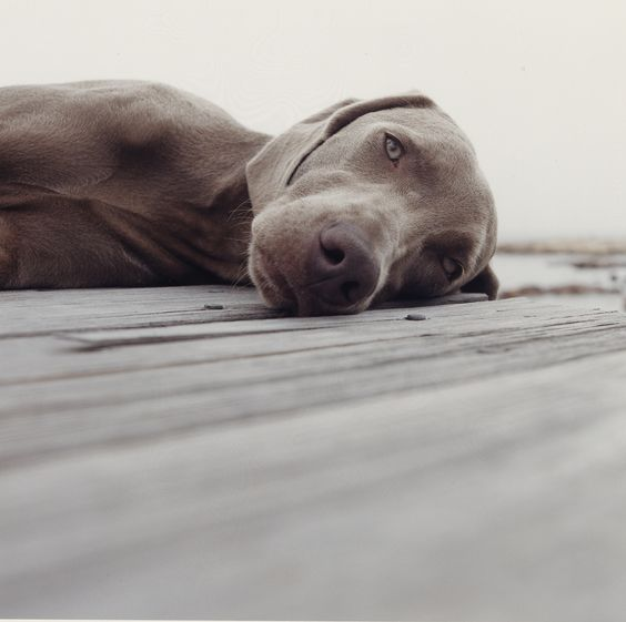 William Wegman, Summer, 2005