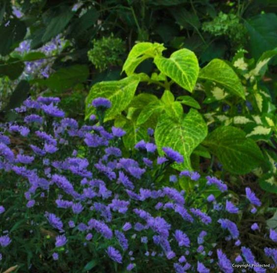 Asters & coleus... OK, I know -- one is a sun lover and the other for shade... but because asters are late summer bloomers, it WORKED well in dappled sun with late afternoon sun. This is from my Guerilla Garden.