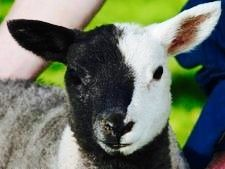 Chimera sheep