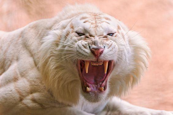 Bilder - german.china.org.cn - Der weiße Tiger – eine sehr seltene Großkatze