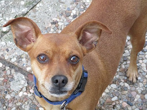 Pictures Of A Pumpkin A Miniature Pinscher For Adoption In Stamford Ct Who Needs A Loving Home Dog Adoption Pets Miniature Pinscher