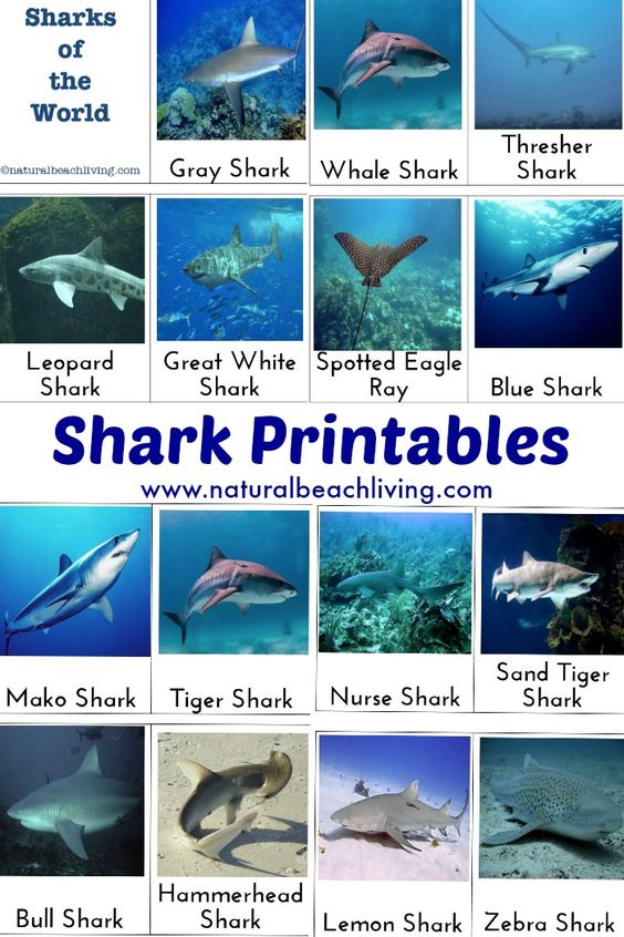 Sharks of the World Sharks of the World Printables, perfect for Shark week or anytime – Play a shark memory game or enjoy object to picture matching.