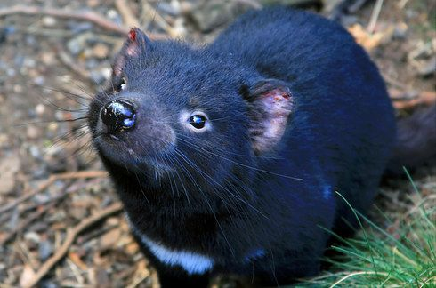 Would love to see a Tasmanian Devil in Tasmania #travel