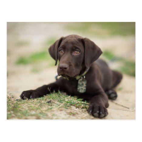 Chocolate Lab Puppy Postcard Zazzle Com Chocolate Lab Puppies