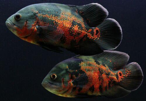 Astronotus Ocellatus South American Cichlid Offering 10 Ten X Astronotus Ocellatus In 2020 Oscar Fish Aquarium Fish Cichlid Fish