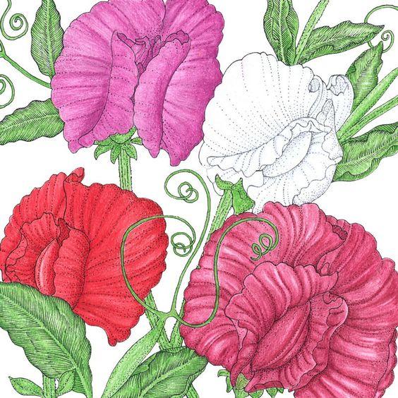 sweet pea flower drawing