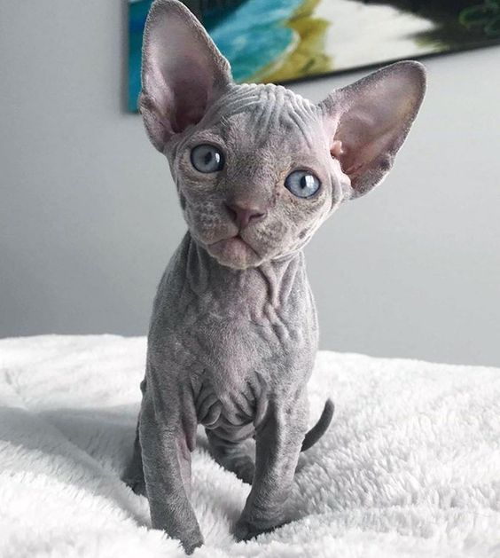 Cat Facts 6 Fascinating Facts About Hairless Cats Cute Hairless