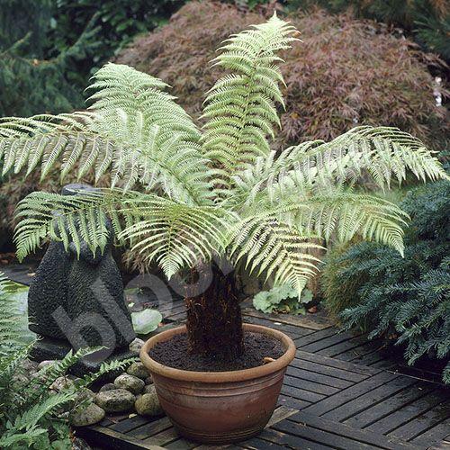 Hardy Tree Fern Dicksonia antarctica log 20cm tall
