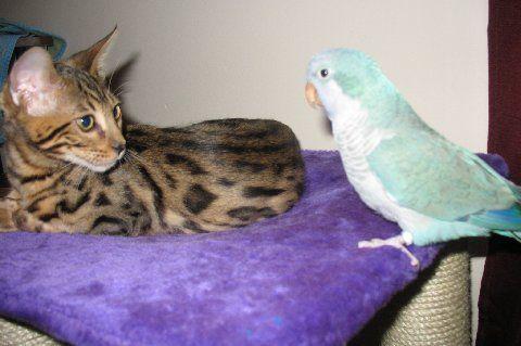 Bengal Cat With His Forever Bird Friend Bengal Cat Bengal Kitten Asian Leopard Cat