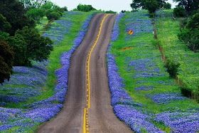 Texas Bluebonnets - I can't wait to see the Bluebonnets when we drive to Austin next weekend!