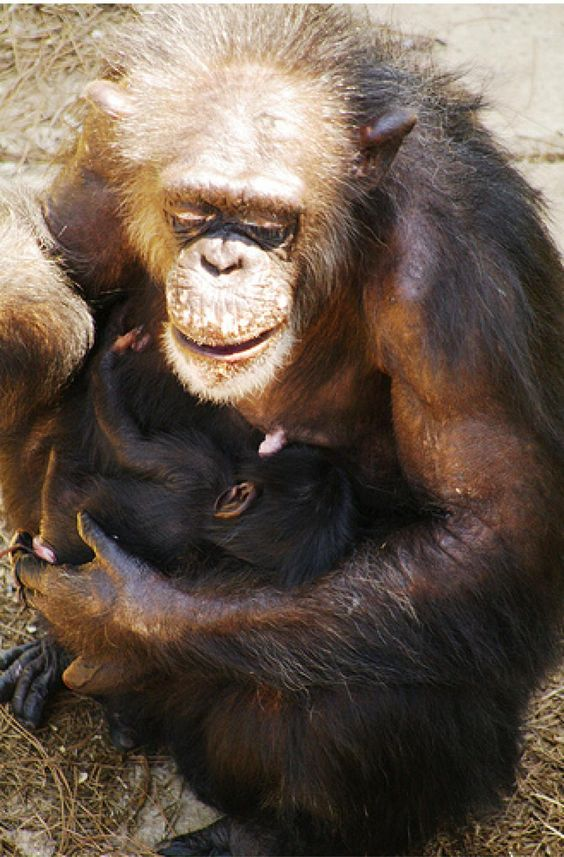 chimpanzee mother and baby: Primates Mes, Chimpanzee Mother, Popular Adorable, Baby, Monkeys Chimps