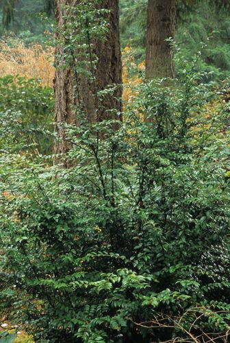 Vaccinium ovatum  EVERGREEN HUCKLEBERRY    - one of the most versatile and underused native plants of the Pacific Northwest