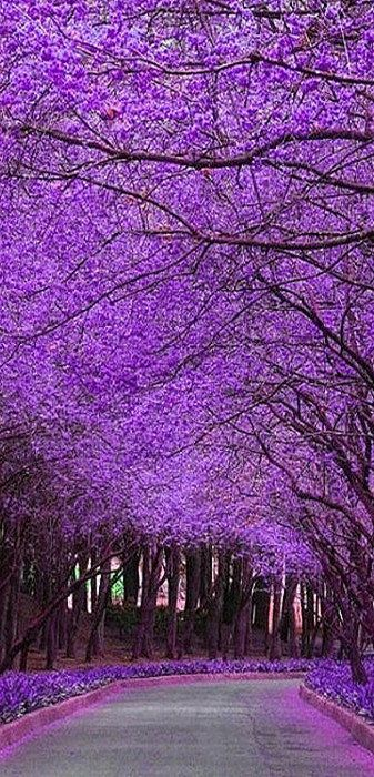 Jacaranda Trees in Bloom...located in south America these trees are gorgeous: