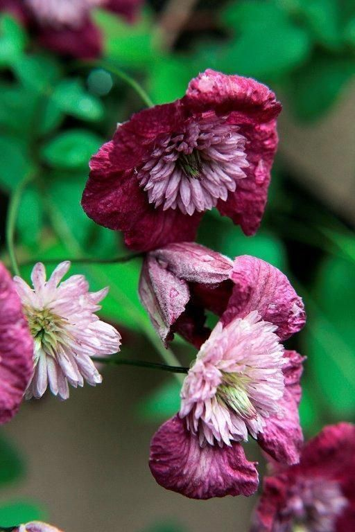 25 Double Red Clematis Seeds Large Bloom Climbing Perennial Garden Flower 505