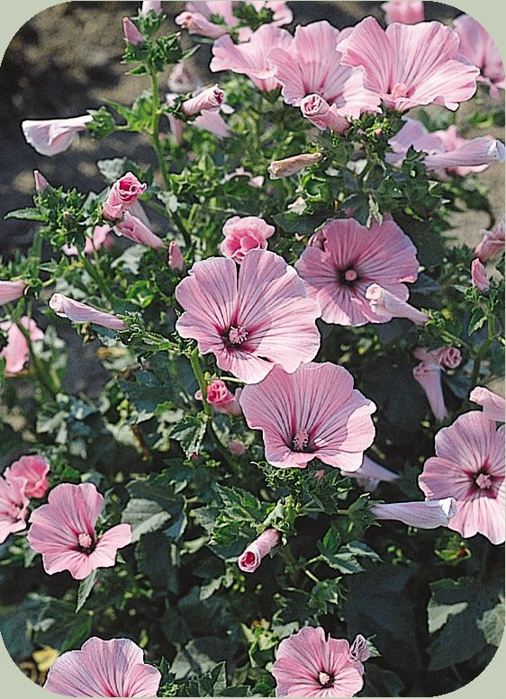 Rose Mallow (tropical hibiscus):