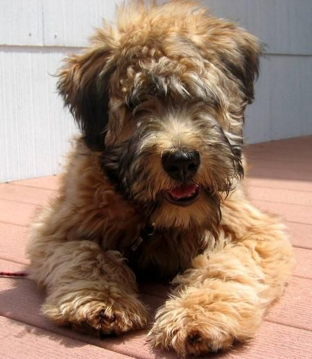 Wheaten Terrier - I want one.  Nonshedding, hypoallergenic and people friendly.