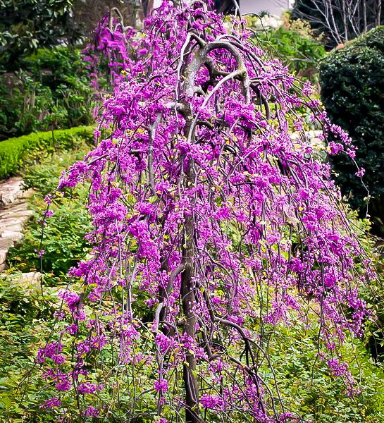 Ruby Falls Weeping Redbud Tree With Images Redbud Tree