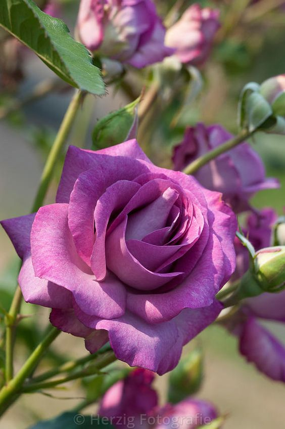 Debry-Hagen Gmelin Rose, Grandiflora rose. Francois Dorieux II (France, 1992). | © Tina & Horst Herzig