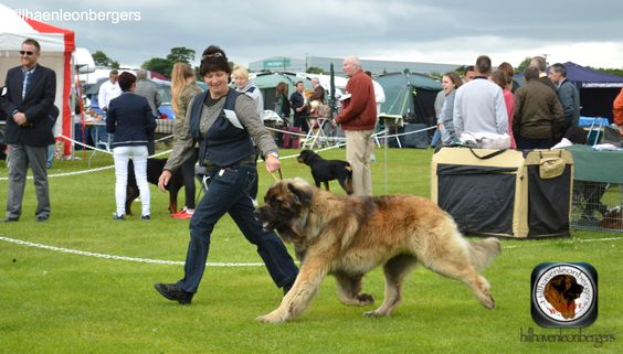 delboy at belgian shepherd show