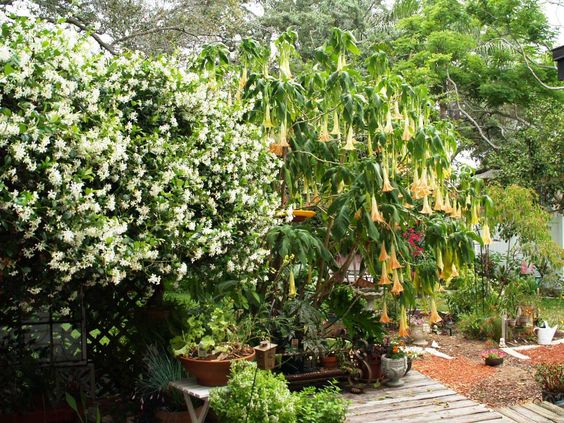 Confederate jasmine and angel trumpet blooming simultaneously!