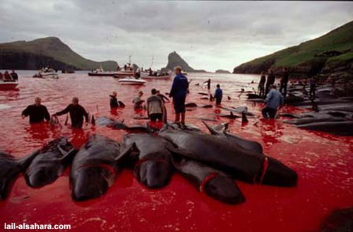 Pilot Whales Brutally Slaughtered Annually in the Faroe Islands