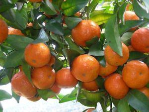 Mandarin-Orange.jpg 300×225 pixels