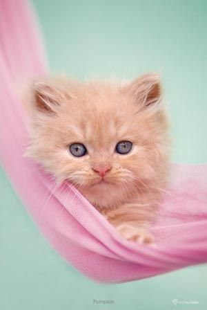 Kitten On Pink Fabric - Pumpkin - Rachel Hale