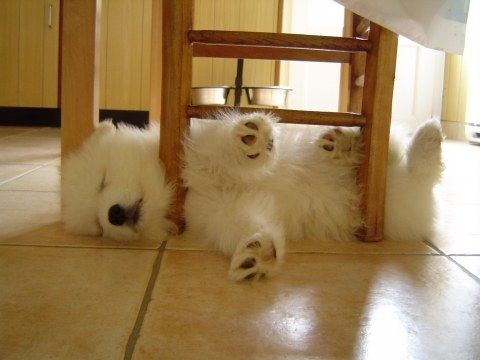 #Samoyed #puppy... So cute !!  I love how their arm sticks up in the air when they are on their side.  Ours are 3 yrs old and still do that.  Adorable!