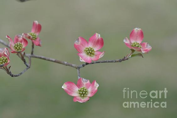 Beautiful pink dogwood blooms