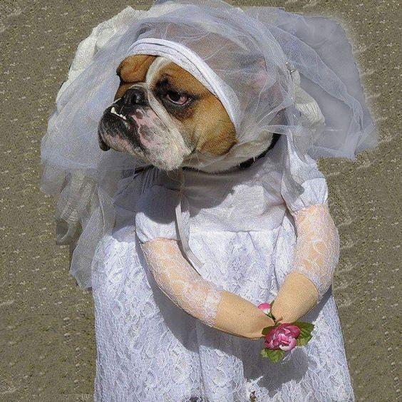 Beautiful Wedding Bride Dress White Small Costume For Dog #dog #dogcostumes #funny