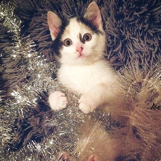 "catsvscancer: ""Time to start decorating! #Holidays ================================= cred: @katzendame_alex"""