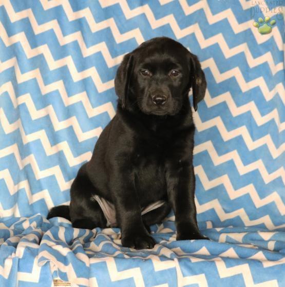 Fantasia Labrador Retriever Puppy For Sale In Newburg Pa