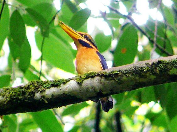 Rufous collared Kingfisher