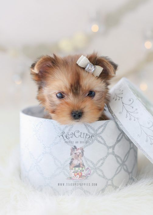 Golden Yorkie Puppy For Sale 359 Teacup Puppies Teacup Puppies Yorkshire Terrier Puppies Yorkshire Terrier