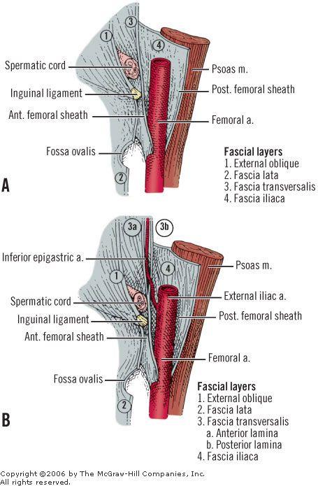 fascia and femoral she...