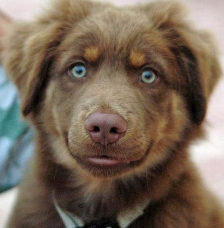 Green-eyed Aussie Shepherd!