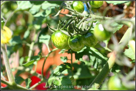Desperate Gardener: Tomato Tuesday: Ripening Tomatoes