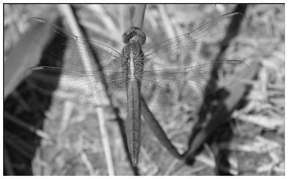 Libelle transparent