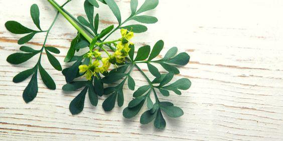 A la ruda se le conoce como una planta mágica, esto por sus múltiples usos en el esoterismo. Descubre para qué sirve la ruda en el amor, trabajo y salud.