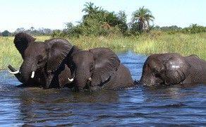 Elephant swimming at Jacana Camp