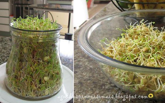 Agulhas e Pinceis: Como germinar broto de lentilha