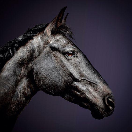 Stolzer Hengst #Pferdefotografie #Tierportrait